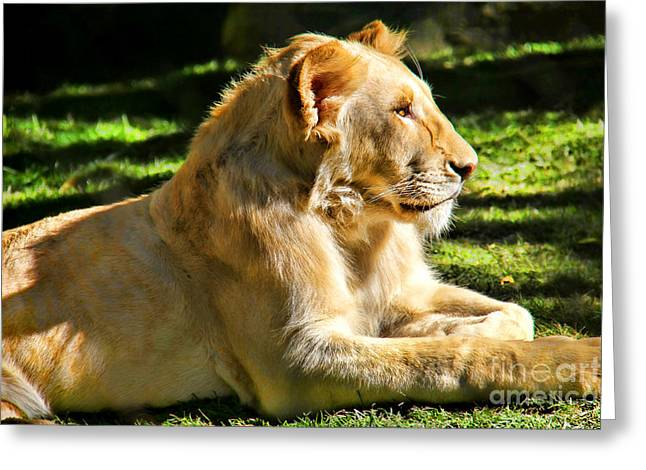 Royal Art Greeting Cards - King of the Pride Greeting Card by Mariola Bitner