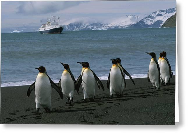 Aptenodytes Patagonicus Greeting Cards - King Penguins And Cruise Ship Lindblad Greeting Card by Gordon Wiltsie