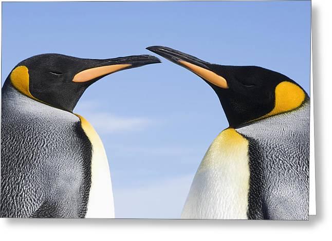 Love The Animal Greeting Cards - King Penguins  Aptenodytes Patagonicus Greeting Card by Daisy Gilardini