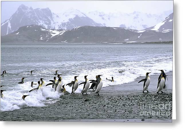 Aptenodytes Patagonicus Greeting Cards - King Penguins Come Ashore Greeting Card by Greg Dimijian