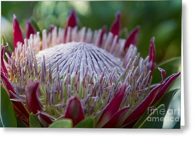 King Protea Island Flowers Jewel Of The Garden Greeting Card by Sharon Mau