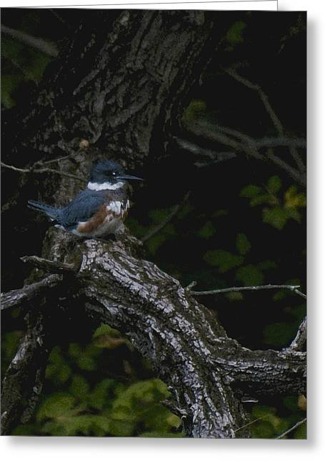 Duke Island Park Greeting Cards - Kingfishers Pause Greeting Card by Warren M Gray