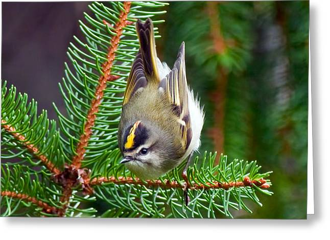 Courson Greeting Cards - Kinglet In the Pine II Greeting Card by CR  Courson