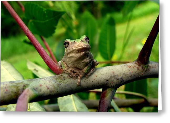 Tree Frog Photographs Greeting Cards - Kiss Me and I will turn into a Prince Greeting Card by Jill Cook
