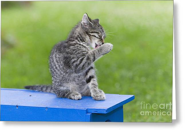 Hair-washing Greeting Cards - Kitten Cleaning Paw Greeting Card by Duncan Usher