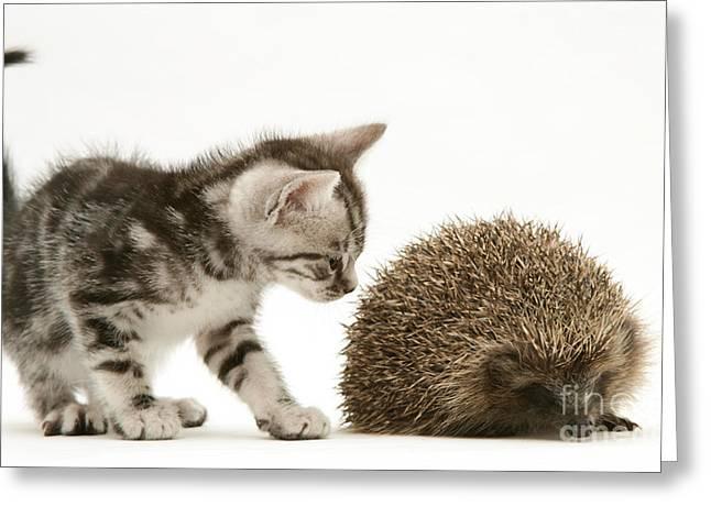Felis Catus Greeting Cards - Kitten Inspecting Hedgehog Greeting Card by Jane Burton