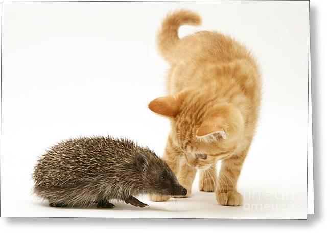 Felis Catus Greeting Cards - Kitten Meeting Hedgehog Greeting Card by Jane Burton