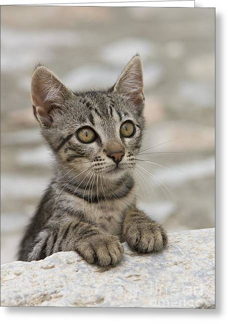 Domestic Pet Portraits.house Cat Greeting Cards - Kitten Portrait, Greece Greeting Card by Jean-Louis Klein & Marie-Luce Hubert