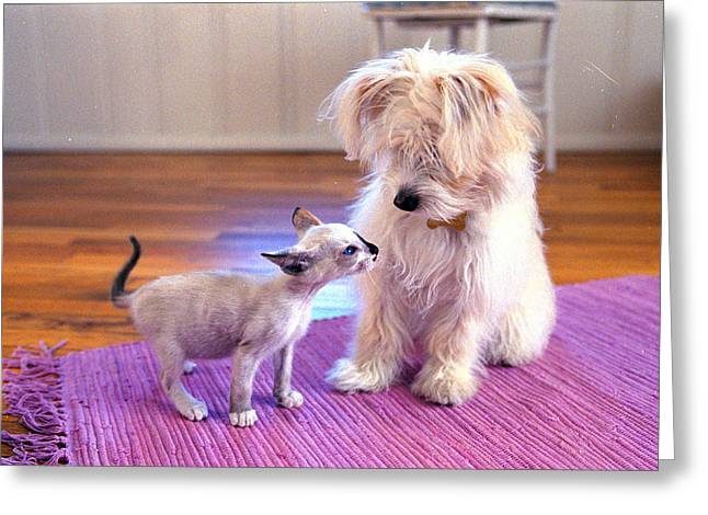 Cute Kitten Greeting Cards - Kitten Sniffing Puzzled Dog On Purple Greeting Card by Gillham Studios