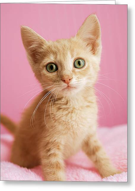 Cute Kitten Greeting Cards - Kitten Standing On Pink Blanket Greeting Card by Gillham Studios