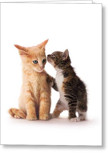 Kitten With Paw On Shoulder Greeting Card by Gillham Studios