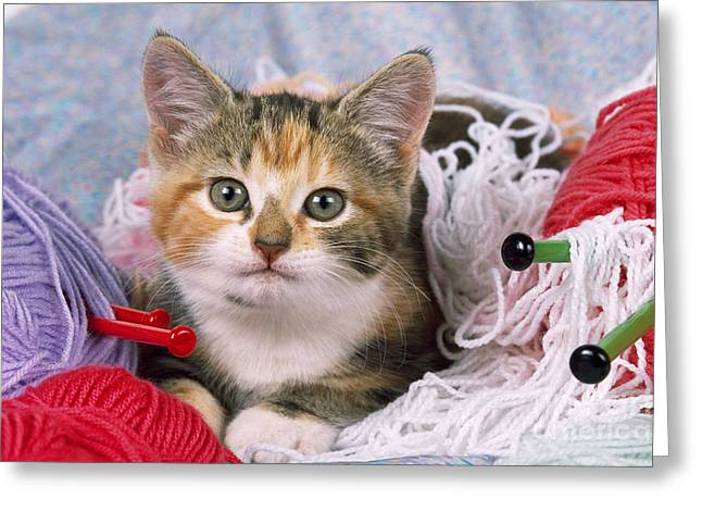 Domestic Pet Portraits.house Cat Greeting Cards - Kitten With Yarn Greeting Card by John Daniels