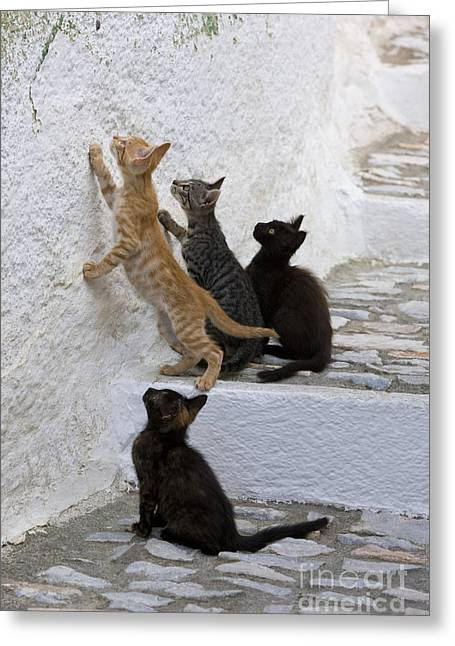 Litter Mates Greeting Cards - Kittens Chasing Woodlouse Greeting Card by Jean-Louis Klein & Marie-Luce Hubert