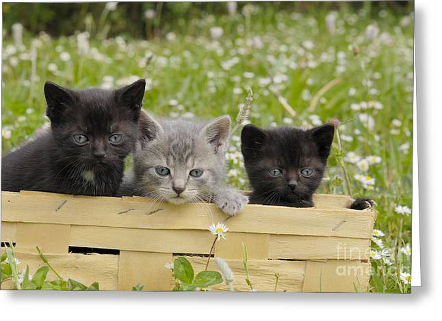 House Pet Greeting Cards - Kittens In A Basket Greeting Card by Stefan Meyers