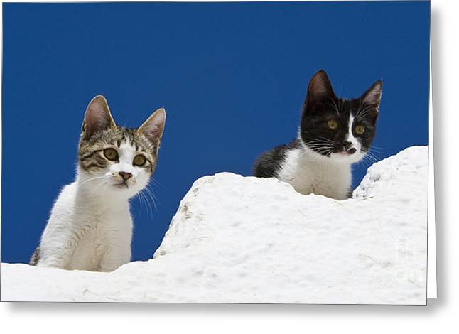 Litter Mates Greeting Cards - Kittens On A Greek Island Greeting Card by Jean-Louis Klein & Marie-Luce Hubert