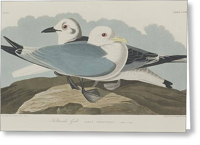 Shorebird Greeting Cards - Kittiwake Gull Greeting Card by John James Audubon