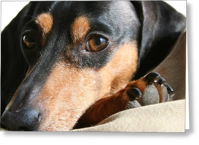 Black And Tan Dachshund Greeting Cards - Klaus Stare Greeting Card by Rachel Roushey