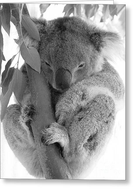 Koala Photographs Greeting Cards - Koala Bear Greeting Card by Terry Burgess