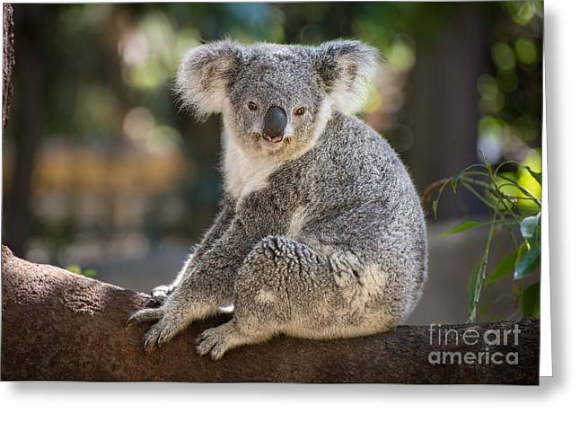 Koala Photographs Greeting Cards - Koala in Tree Greeting Card by Jamie Pham