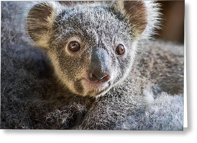 Koala Joey Close Greeting Card by Jamie Pham