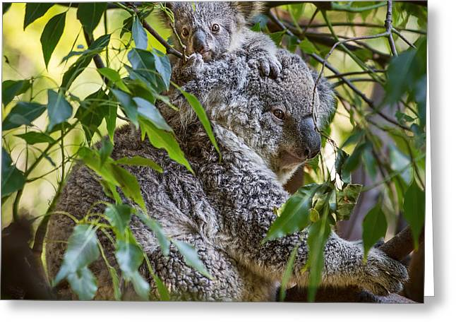 Koala Photographs Greeting Cards - Koala Joey Greeting Card by Jamie Pham