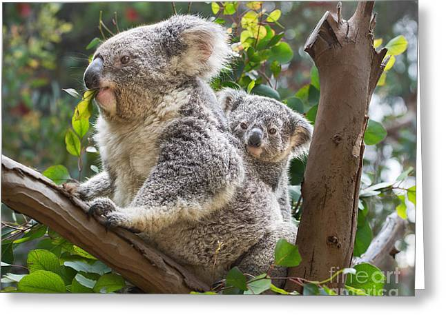 Koala Photographs Greeting Cards - Koala Joey on Mom Greeting Card by Jamie Pham