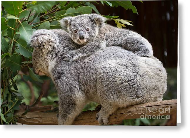 Koala Photographs Greeting Cards - Koala Joey Piggy Back Greeting Card by Jamie Pham
