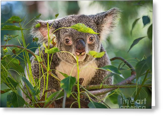 Koala Photographs Greeting Cards - Koala Leaves Greeting Card by Jamie Pham