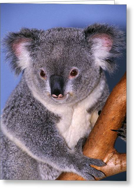 Koala On Tree Branch Greeting Card by Natural Selection Ralph Curtin