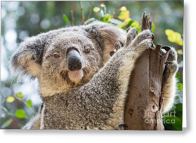 Koala Photographs Greeting Cards - Koala on Tree Greeting Card by Jamie Pham