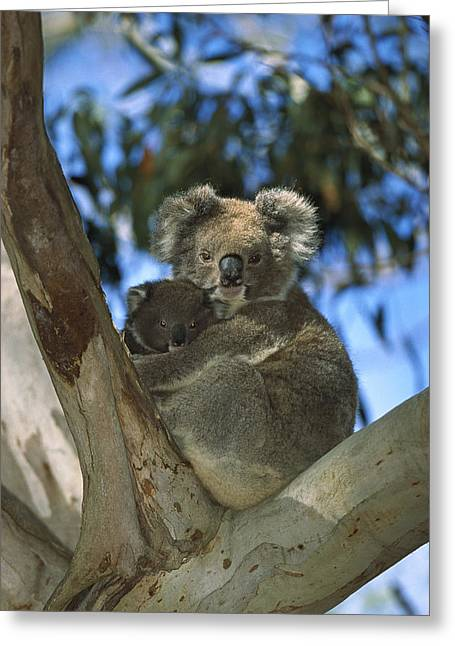 Koala Photographs Greeting Cards - Koala Phascolarctos Cinereus Mother Greeting Card by Konrad Wothe