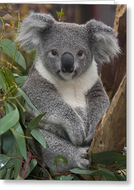 Koala Photographs Greeting Cards - Koala Phascolarctos Cinereus Greeting Card by Zssd