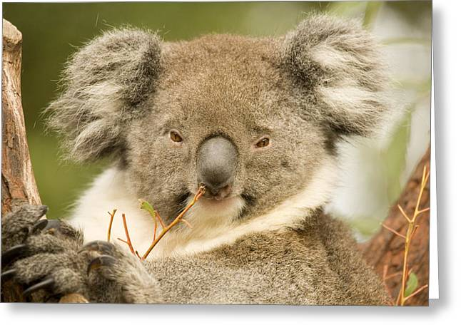 Koala Photographs Greeting Cards - Koala Snack Greeting Card by Mike  Dawson
