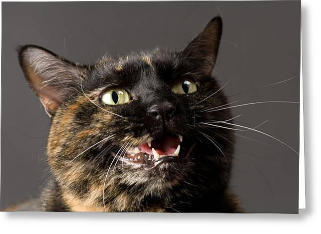 Hiss Greeting Cards - Konza The Zoo Cat Felis Catus Greeting Card by Joel Sartore