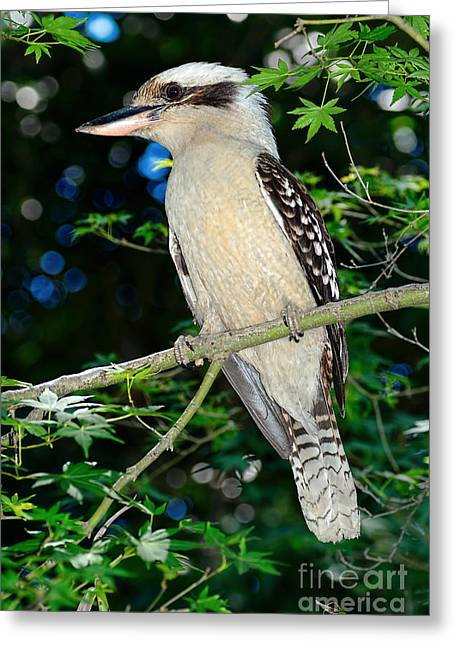 Kookaburra Sits On A Maple Tree Greeting Card by Kaye Menner