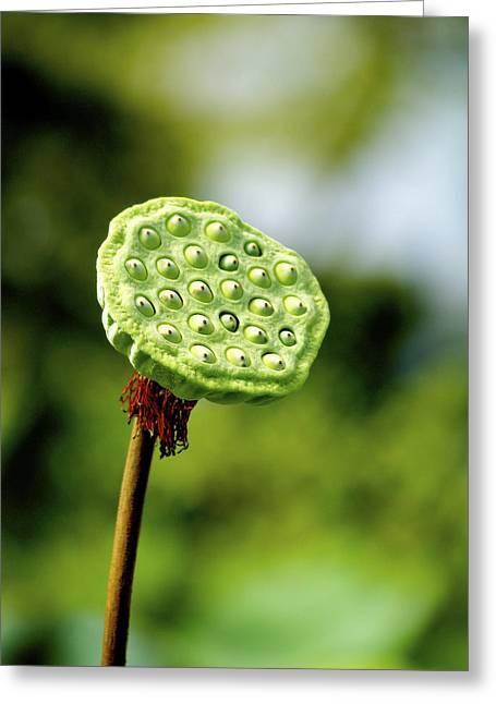 Lotus Seed Pod Greeting Cards - Kota Kinabalu Sabah Malaysia 30 Greeting Card by Per Lidvall