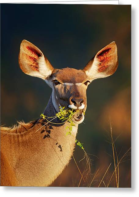 Parks And Wildlife Greeting Cards - Kudu portrait eating green leaves Greeting Card by Johan Swanepoel