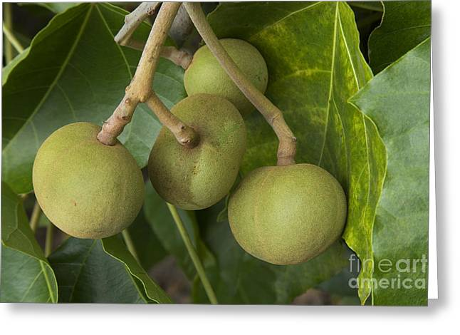 Euphorbiaceae Greeting Cards - Kukui Nuts Greeting Card by Inga Spence