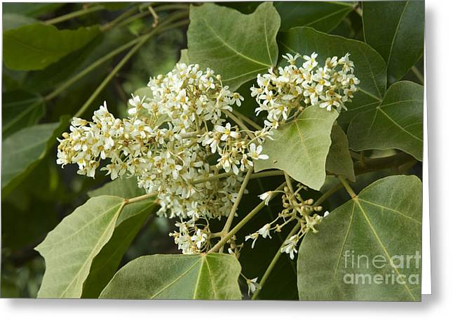 Euphorbiaceae Greeting Cards - Kukui Tree Flowers Greeting Card by Inga Spence