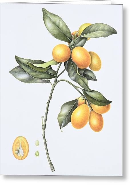 Halved Greeting Cards - Kumquat Greeting Card by Margaret Ann Eden