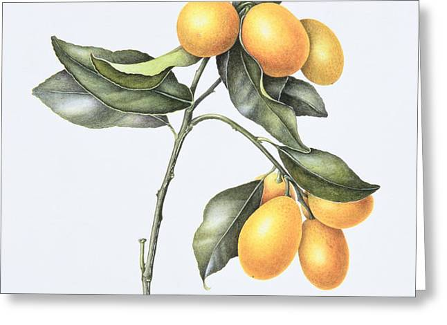 Kumquat Greeting Card by Margaret Ann Eden