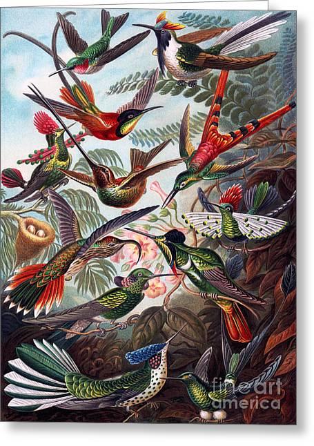 Kunstformen Der Natur Greeting Cards - Kunstformen der Natur Hummingbird Trochilidae Restored Greeting Card by Pablo Avanzini