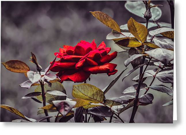 Historic Site Greeting Cards - Kykuit - Roses Are Red - Toned Greeting Card by Black Brook Photography