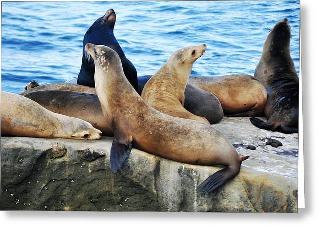 California Sea Lions Greeting Cards - La Jolla California Sea Lions Greeting Card by Kyle Hanson