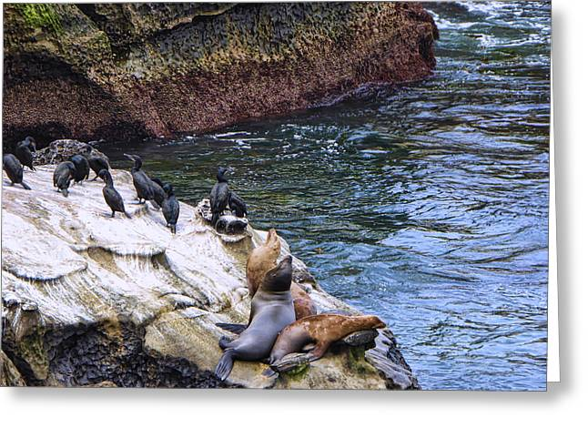 Sea Lions Greeting Cards - La Jolla Cove Sea Lions Greeting Card by Linda Dunn