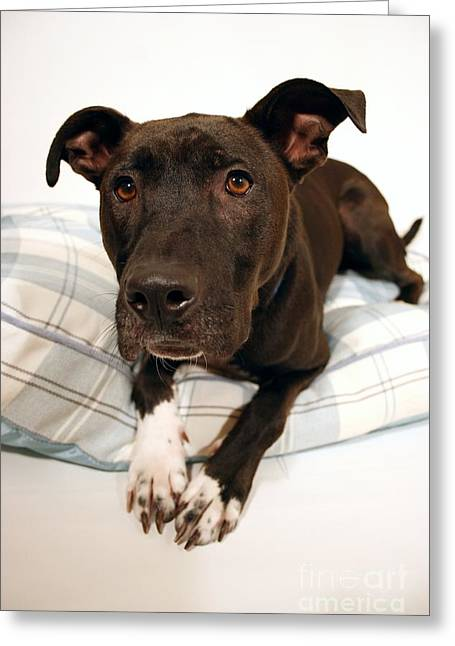 Lab Mix On His Dog Bed Greeting Card by Kelly George