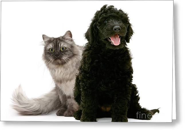Labradoodle And Persian Cat Greeting Card by Mark Taylor