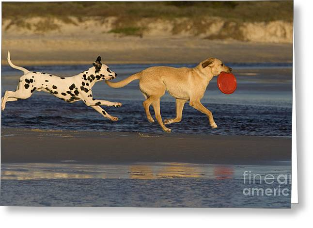 Dog At Play Greeting Cards - Labrador And Dalmatian Greeting Card by Jean-Louis Klein & Marie-Luce Hubert