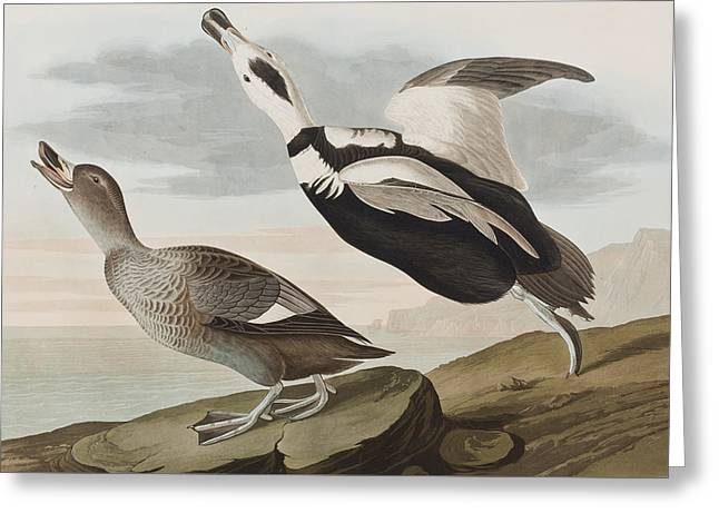 Male And Female Greeting Cards - Labrador ducks Greeting Card by John James Audubon