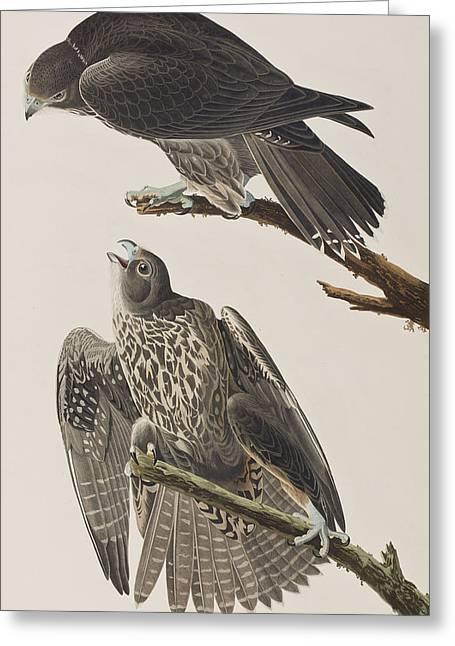 Labrador Falcon Greeting Card by John James Audubon